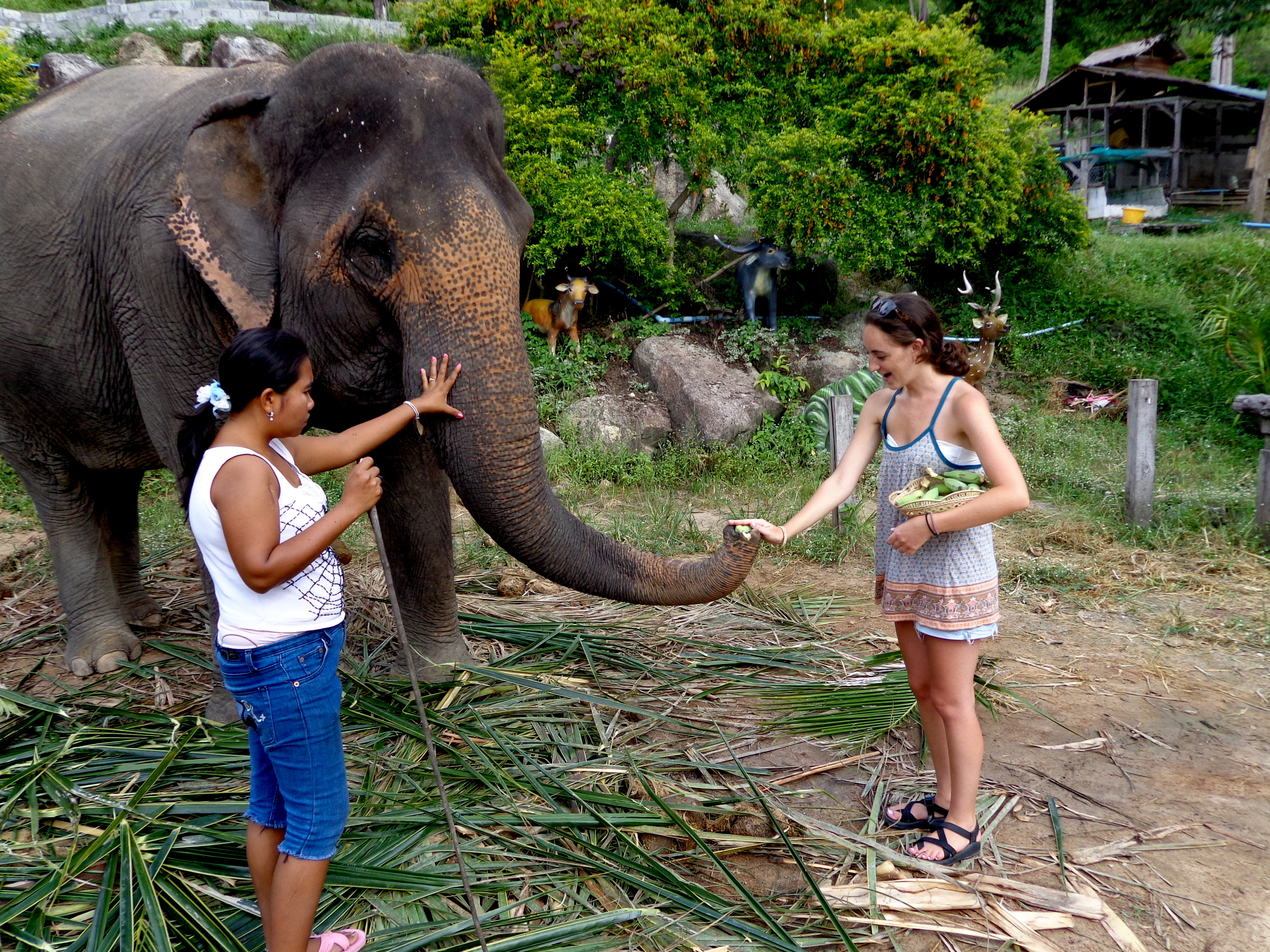 Meeting an elephant in Thailand
