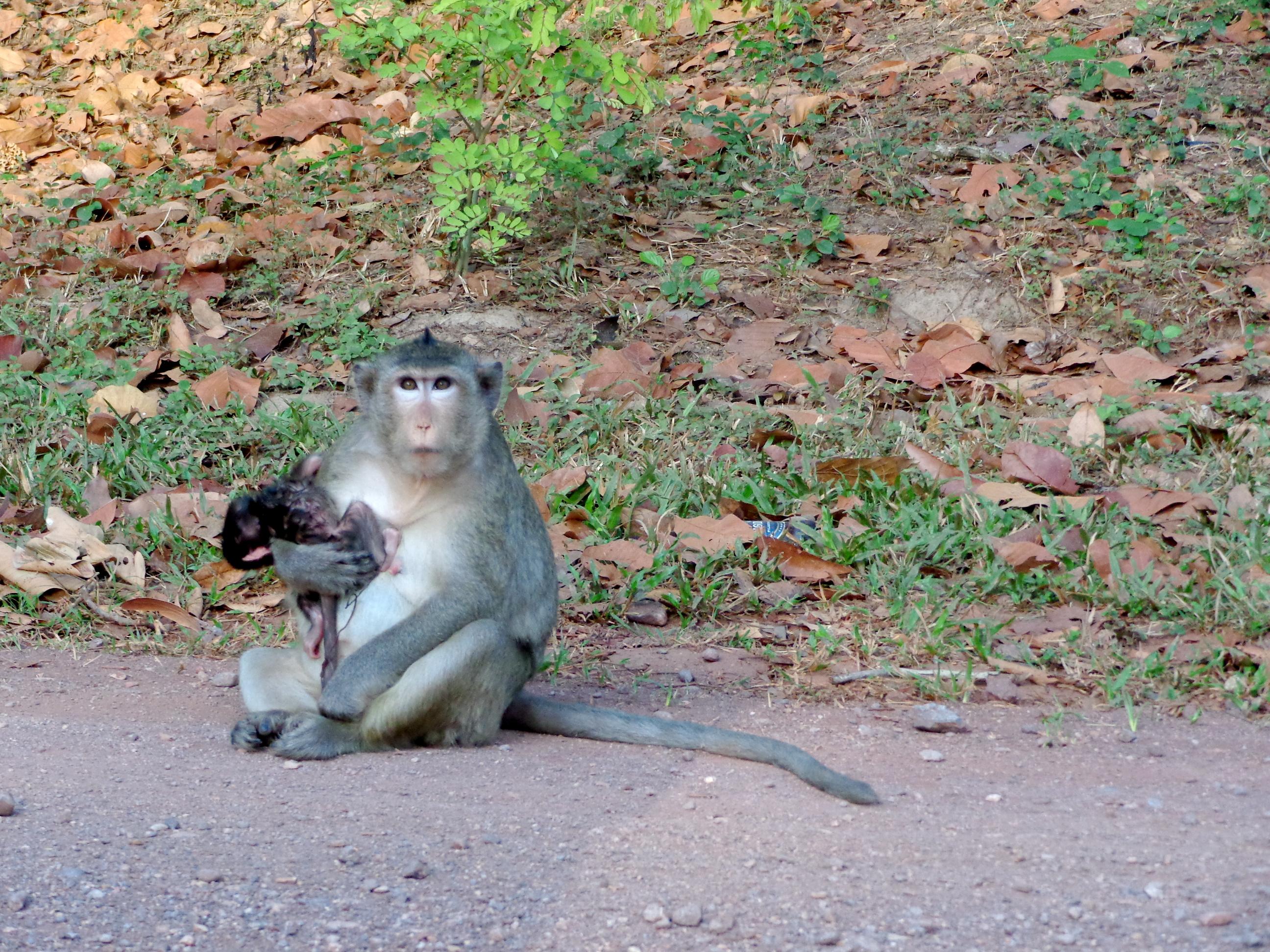Newborn monkey in Cambodia
