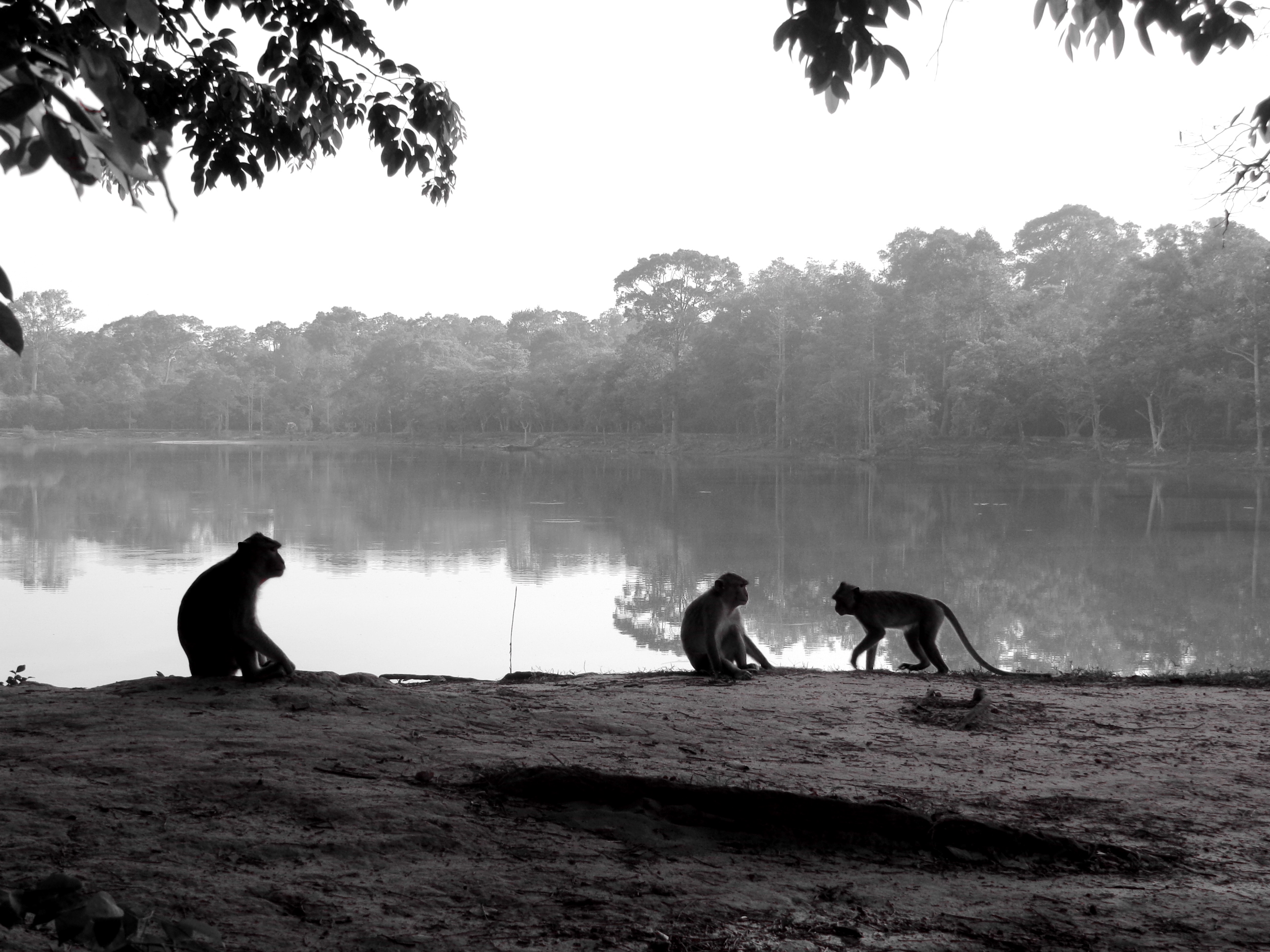 Monkeys in Angkor Wat in Cambodia