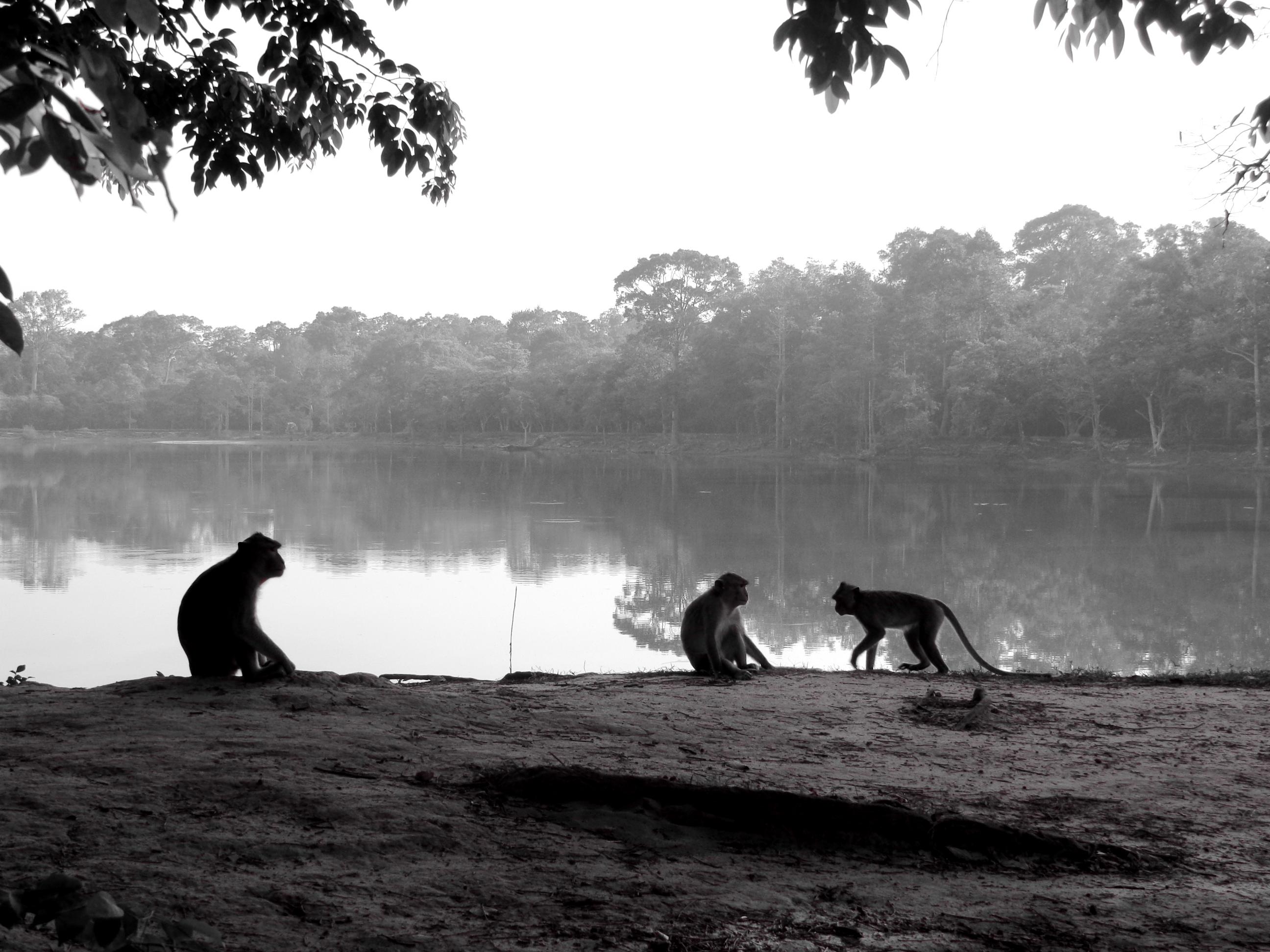 Monkeys in Angkor Wat in Cambodia