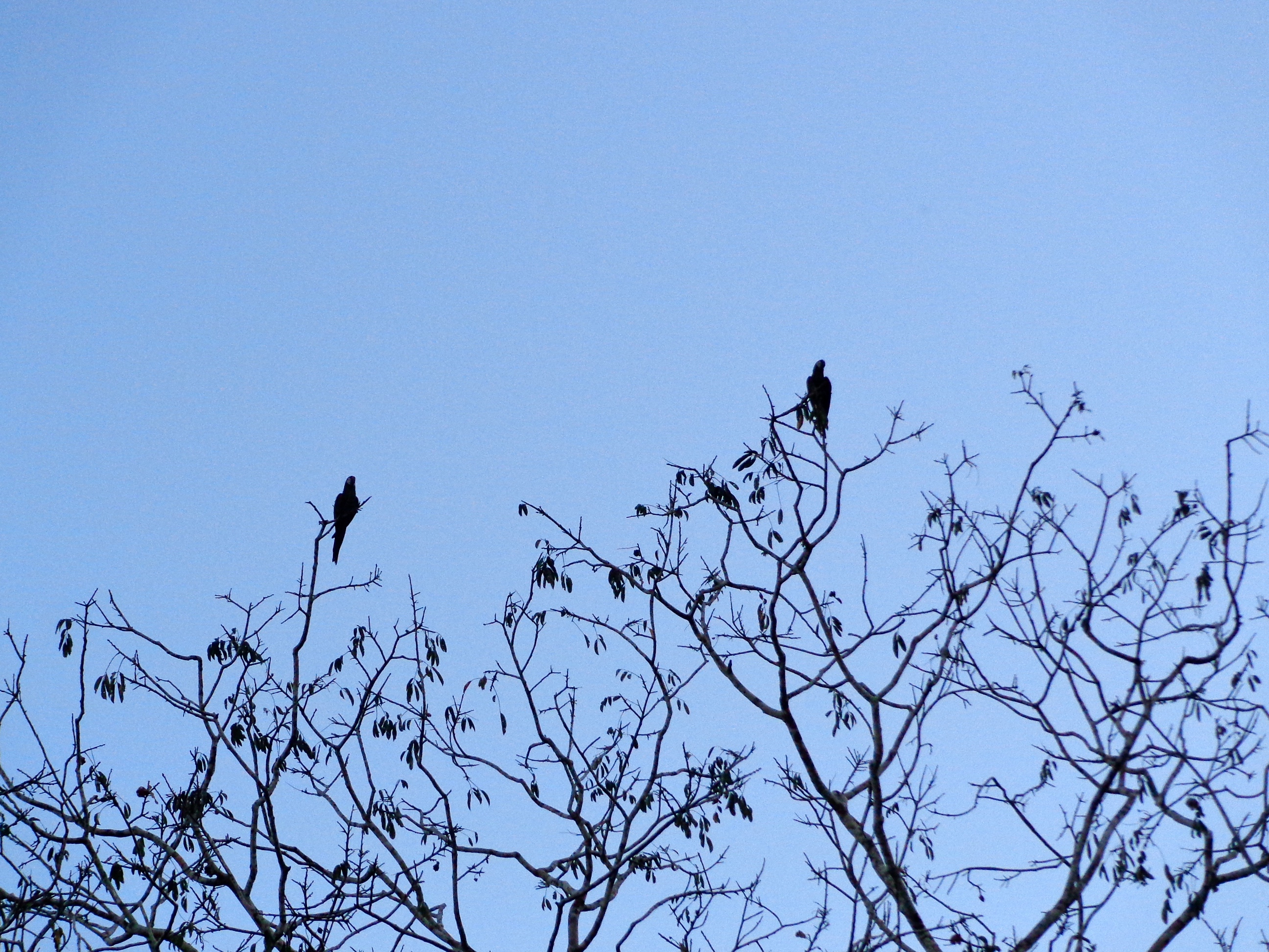 My interest in the birds was extremely short-lived. These are some macaw silhouettes from a bird-viewing platform in the jungle.