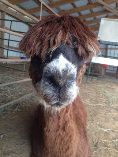 alpaca-in-baltimore