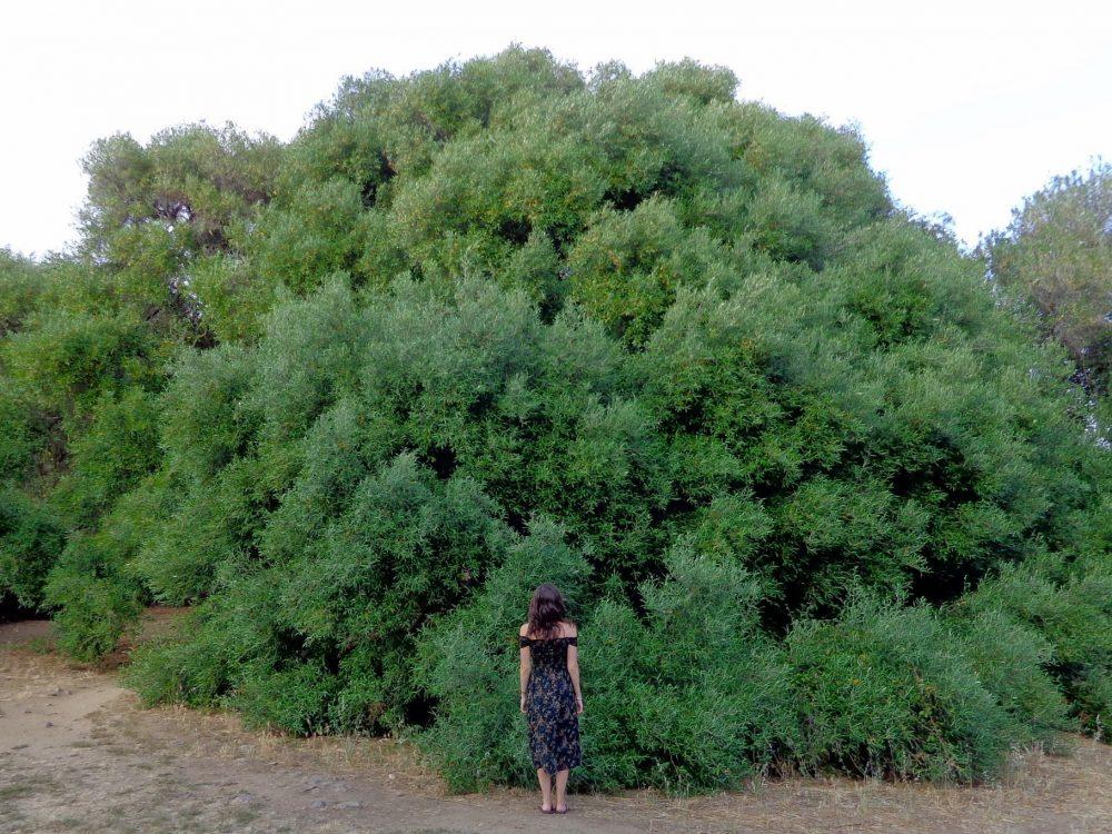 Visiting the olivastri millenari in Sardinia