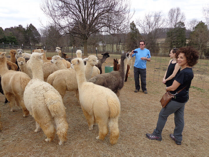 Visiting the alpaca farm with my parents in Baltimore