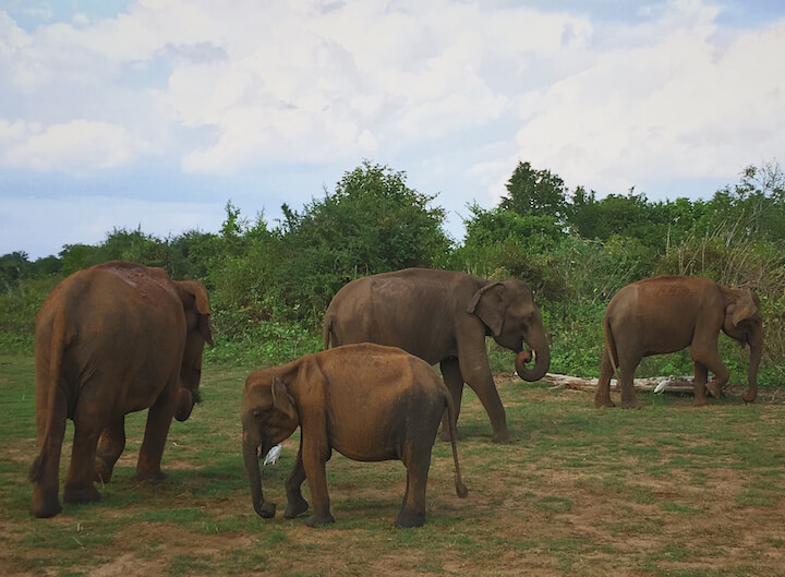 Group of elephants at a national park in Sri Lanka