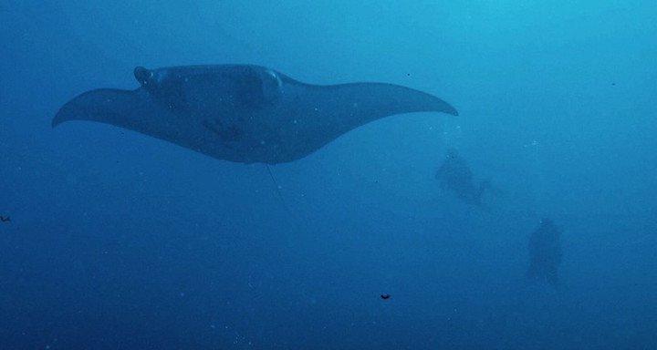 Manta ray at Manta Point in Bali